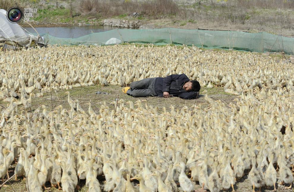 Antimimeticisomorphism - anatidaephobia - duck herd asleep